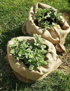 potatoes growing in two burlap coffee bean bags