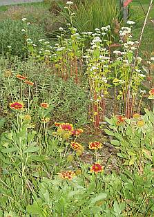Buckwheat among front perennials