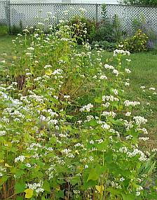 Buckwheat around corner from rock garden